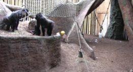 Vous pouvez écouter un flux de vie des gorilles au zoo de Toronto
